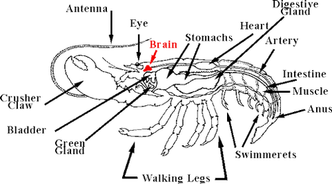 Amercian lobster digestive systems picture the digestive system ccuart Image collections